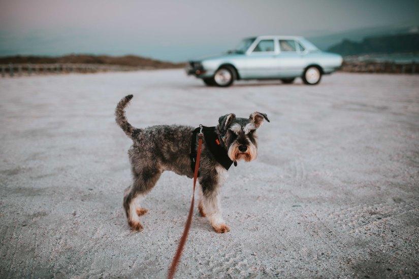 wade-lambert-dog on leash and car